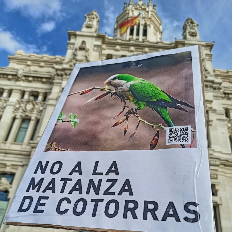 <span style='color:#780948'>ARCHIVED</span> - Enough is enough. Madrid initiates plan to eradicate invasive street parakeets
