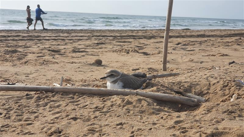 <span style='color:#780948'>ARCHIVED</span> - Torrevieja closes off part of beach to protect Kentish Plover nesting site