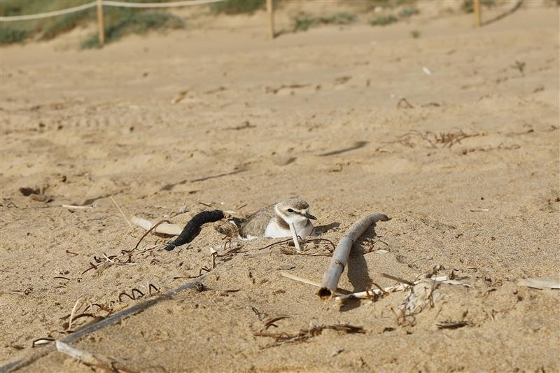 Special protection for Kentish plovers nesting on Calarreona beach in Águilas