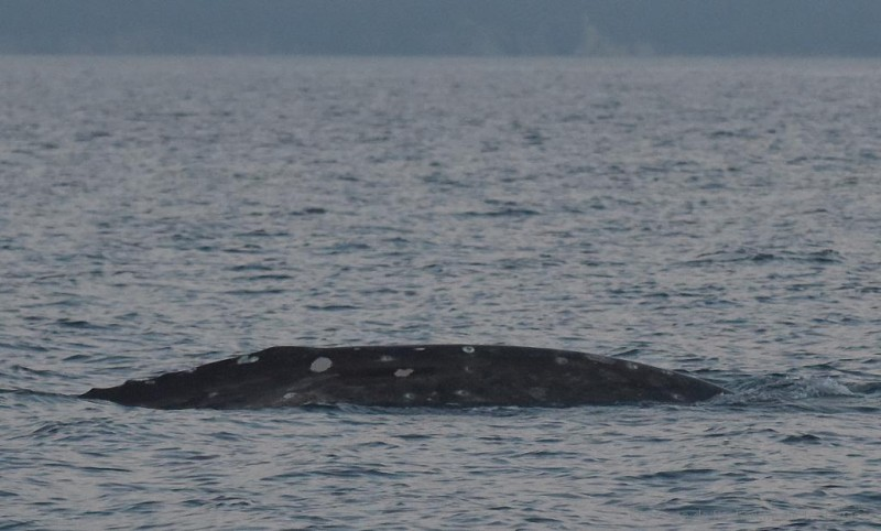 <span style='color:#780948'>ARCHIVED</span> - Wally the lost grey whale spotted off Alicante coastline: thousands of kilometres from home