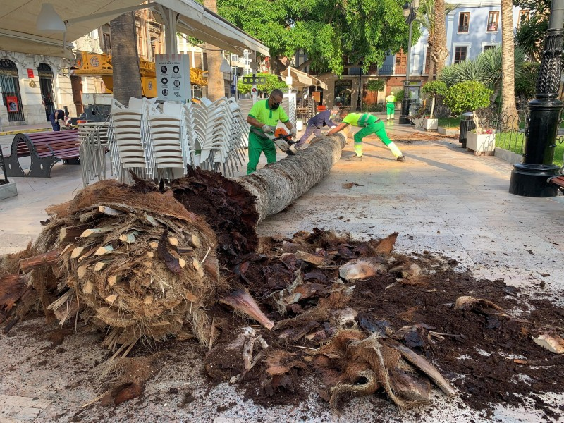<span style='color:#780948'>ARCHIVED</span> - Red palm weevil infestation detected in Plaza de España in Águilas