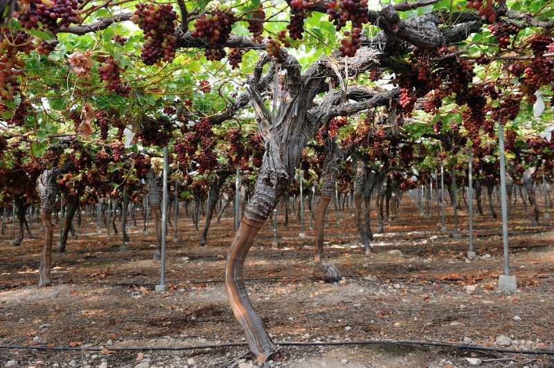 <span style='color:#780948'>ARCHIVED</span> -  Table grape harvest in Murcia expected to be 20 per cent higher this year