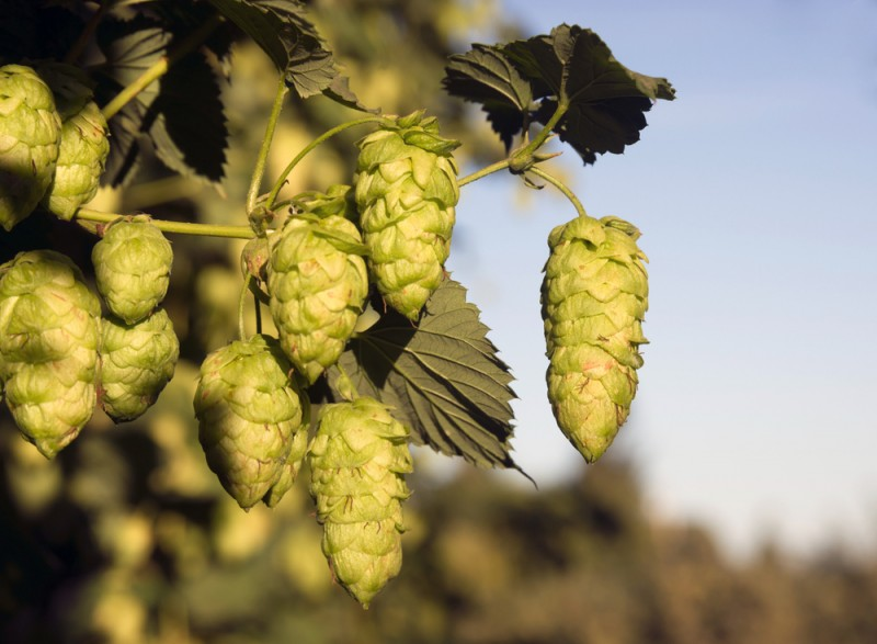 <span style='color:#780948'>ARCHIVED</span> - Experimental hop growing project in north-west Murcia  looking positive