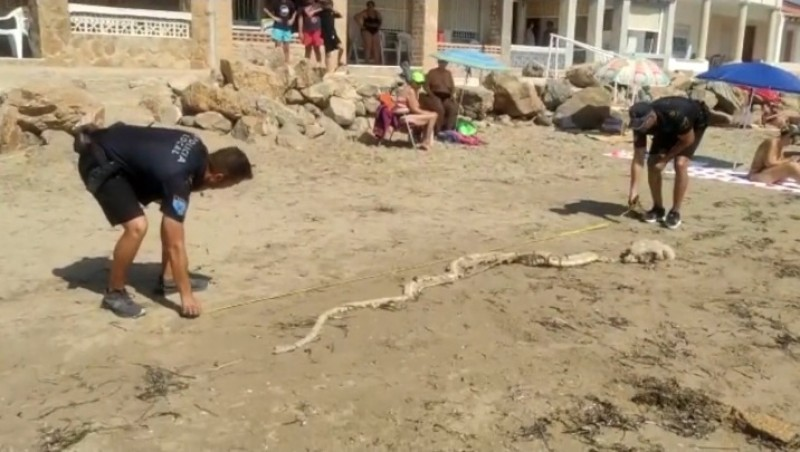 <span style='color:#780948'>ARCHIVED</span> - Four metre shark skeleton washed up on Alicante beach