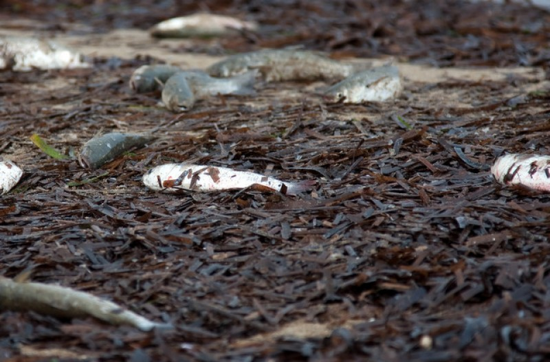 <span style='color:#780948'>ARCHIVED</span> - Thousands of dead fish washed up on Alicante coast