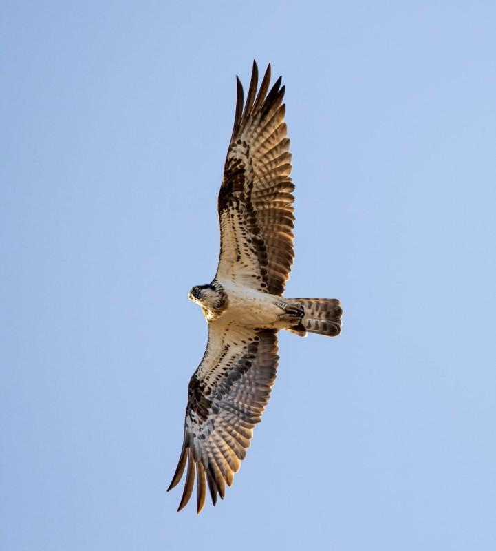 <span style='color:#780948'>ARCHIVED</span> - 20 rare osprey chicks to be released in Alicante Natural Parks
