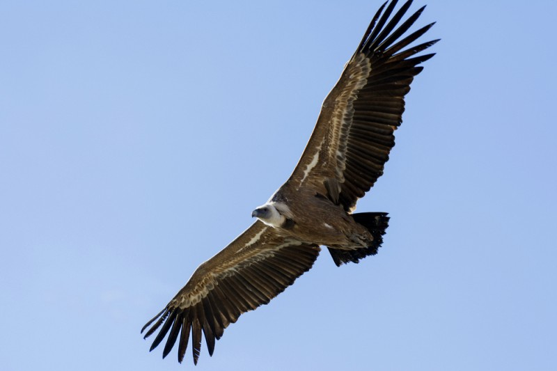 Vulture dies after being electrocuted on pylon in Alicante mountain range