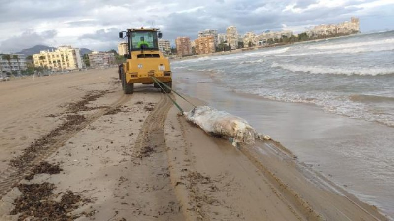 Dead cow washes up on Alicante beach