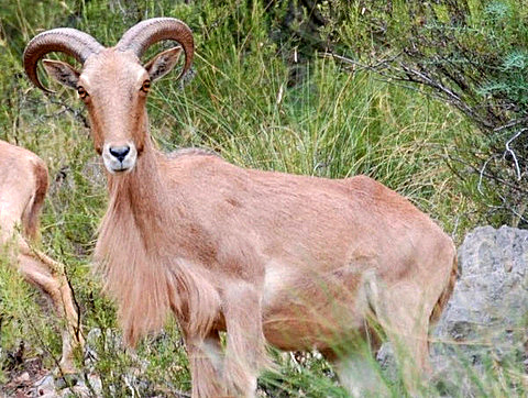 <span style='color:#780948'>ARCHIVED</span> - Barbary sheep cull to restrict Sierra Espuña population