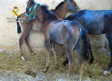 39 horses found under appalling conditions in Mula