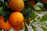 Citrus fruit crops in Murcia resist the drought