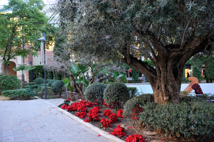 Imaginative pruning of olive trees in Murcia City