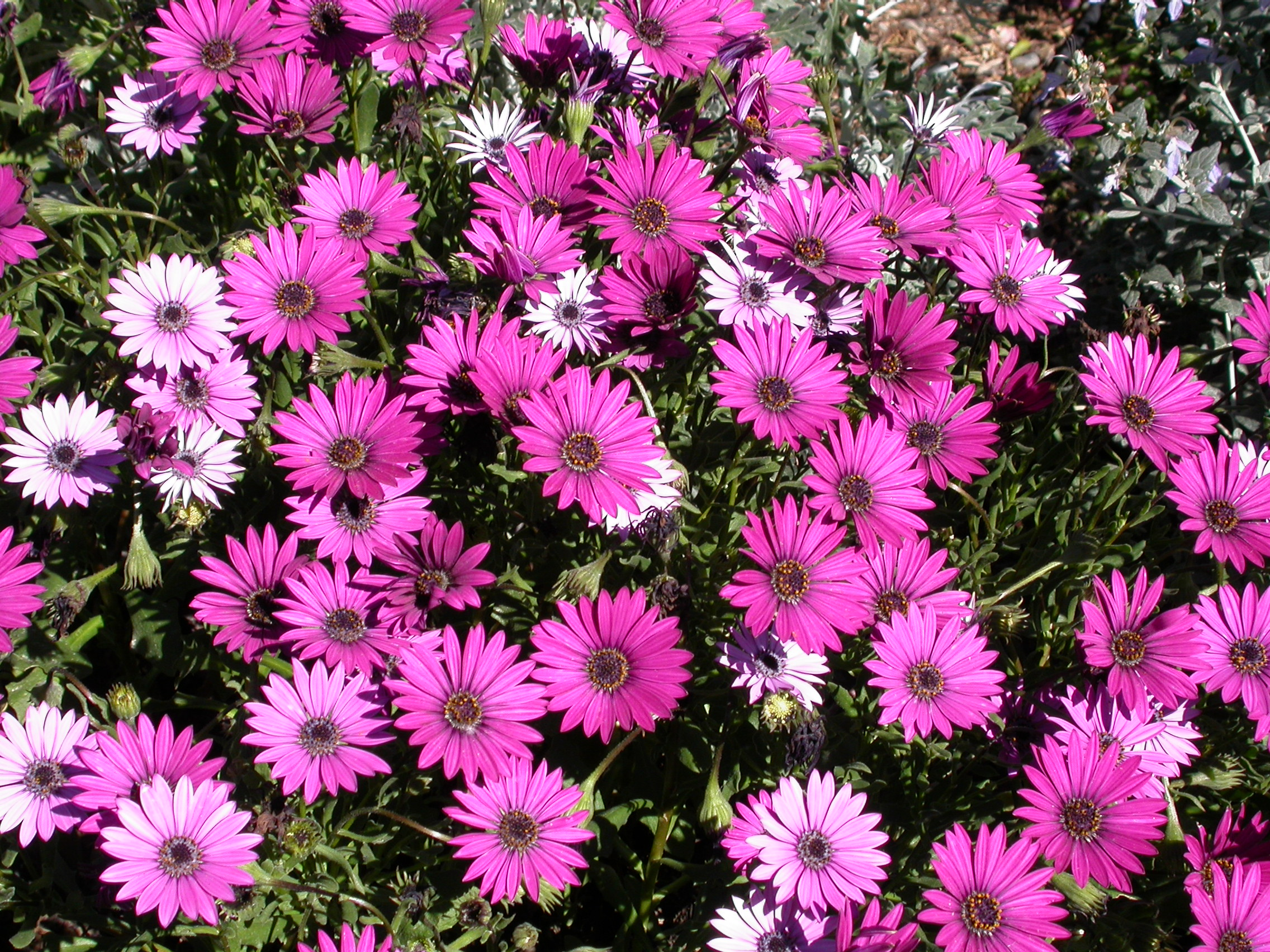 Jobs for March/ April, Transplanting Osteospermums and taking cuttings