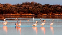 The mystery of pink and grey flamingoes in San Pedro del Pinatar explained