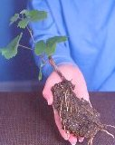 January- Make your own grape vines for free, take cuttings now.