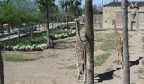 Murcia wildlife park welcomes its first Rothschild's giraffe