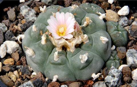 <span style='color:#780948'>ARCHIVED</span> - British hallucinogenic cactus growers arrested in Cartagena