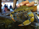 The Atlantic blue crab arrives in the Mar Menor