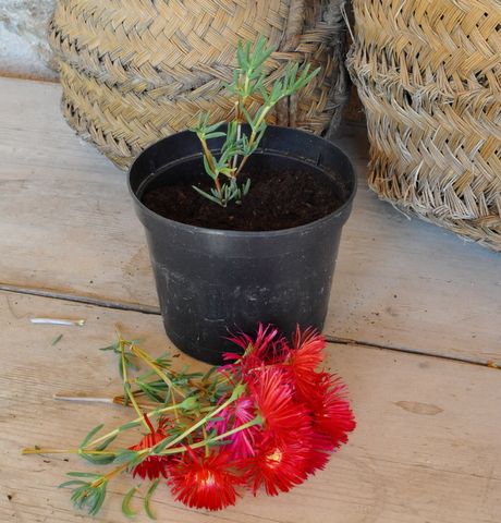 Propagating Ice plants, one of the easiest and best plants for this dry climate