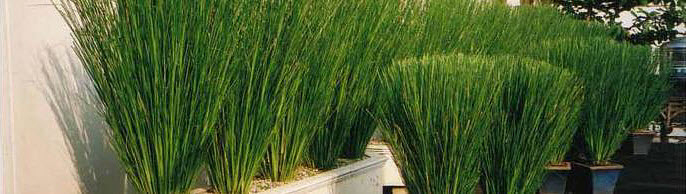Vetiver grass a natural solution to soil erosion and much more, delivered by POST