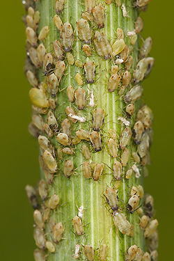 Aphids, a spring plague here in southern spain, how to recognise and treat.