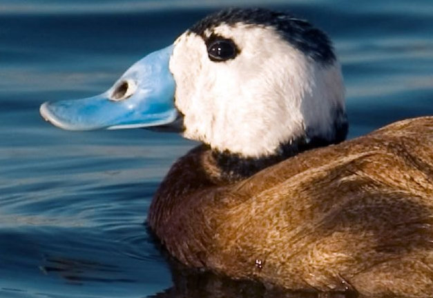 <span style='color:#780948'>ARCHIVED</span> - Murcia government unveils plans to protect the white-headed duck