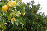Murcia lemon growers anticipate bumper harvests