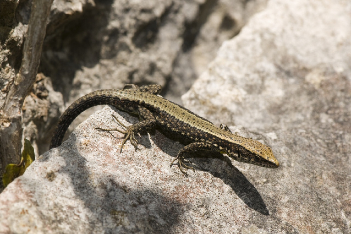 27th August, free reptile activity in the regional park of Sierra Espuña