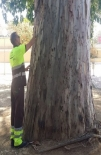 Murcia city council fights eucalyptus pest with injections