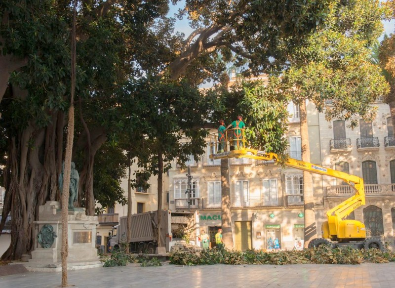 100 year old ficus trees face the chop in cartagena - Ficus Trees