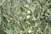 21st October Free guided tour of Abanilla olive mill