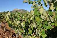 28th May free guided vineyards walk and wine tasting Yecla