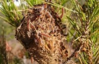 Success in combating processionary caterpillars in Murcia pine woods