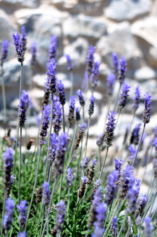 Propagating lavender and enjoying one of the best dry landscaping plants at your disposal