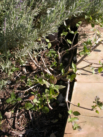 Jobs for March/ April - cutting back Lantanas