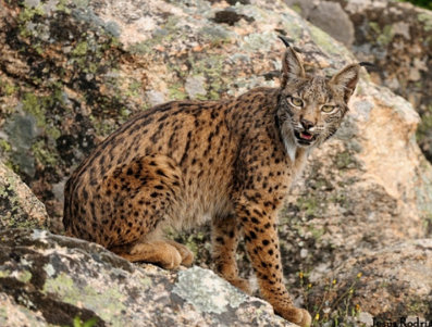 <span style='color:#780948'>ARCHIVED</span> - 48 Iberian lynx cubs born in captivity this year