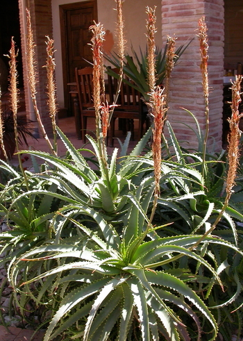 Jobs for March/April, Cut back Aloe Arborescens