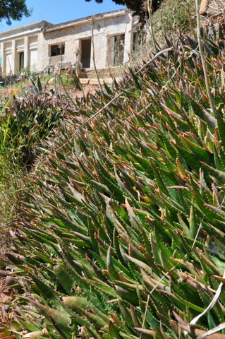 Aloe Saponaria, superb ground cover or specimen plant for any dry spanish garden