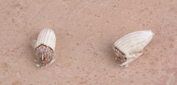 Spanish Gardening pests and problems, The fluted scale insect.