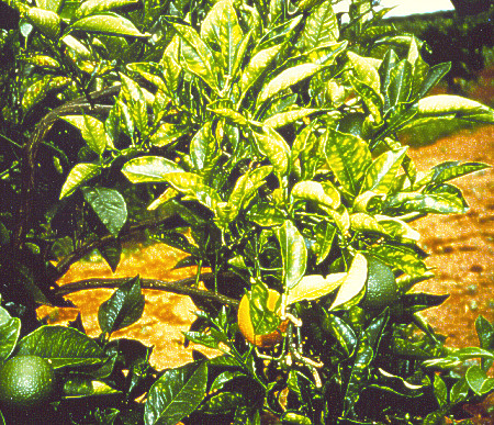 Citrus Tree Problems Yellowing Of Leaves