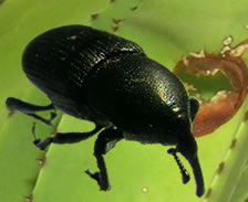 Brace yourself gardeners, Scyphophorus acupunctatus, the black snout weevil, has arrived.