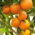 Gardening in Spain- What do I do about ants in the orange tree?