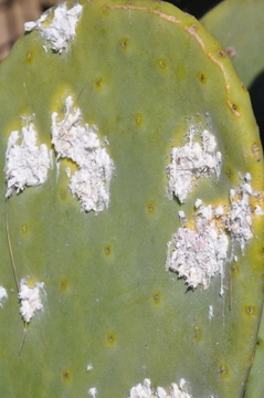 The Cochinilla del Carmin devastates prickly pears